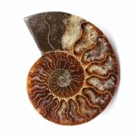 Polished and sawn ammonite fossil