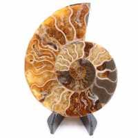 Polished Ammonite Fossil