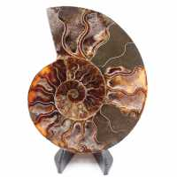 Polished Ammonite Fossil