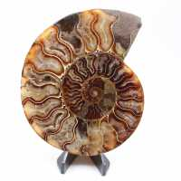 Ammonite cut one piece