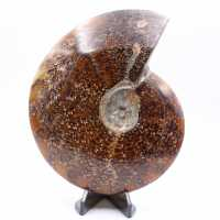 Large whole fern ammonite