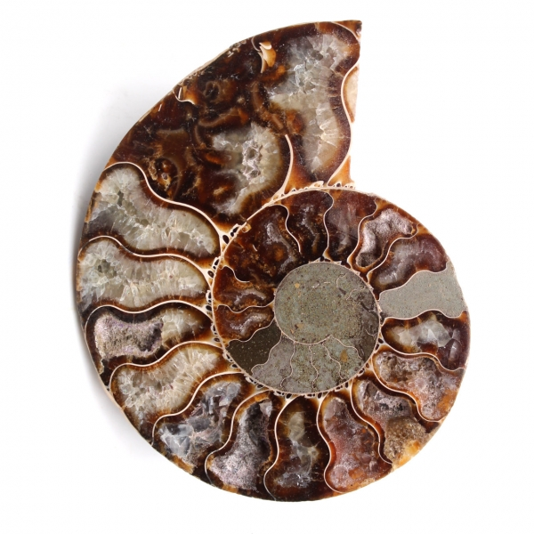 Ammonite fossil cut and polished