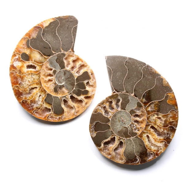 Ammonite fossil double cut and polished