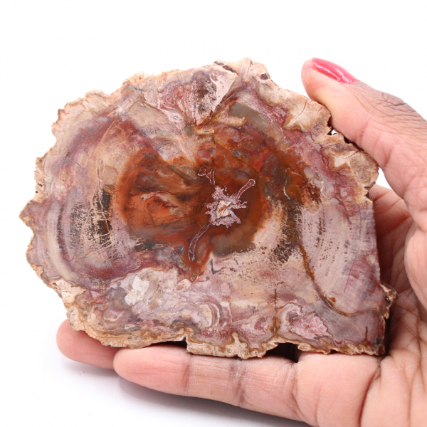 Petrified fossil wood slice