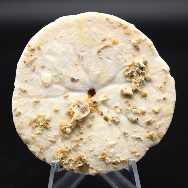 Scutella, fossil sea urchin