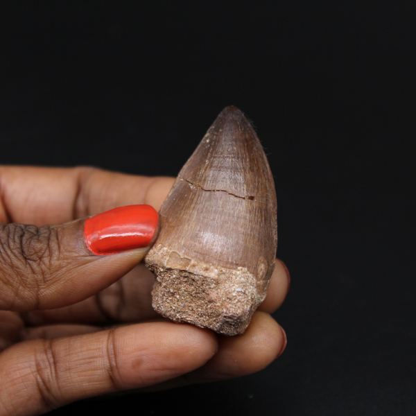 Mosasaur fossil tooth from Morocco